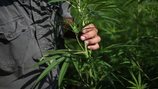 farmer examining leaves of hemp burkesville kentucky us on thursday july 25 2019 - mid section stock videos & royalty-free footage