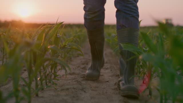 日没時にトウモロコシの畑を歩きながら植物を調べるla農家 - 農学者点の映像素材/bロール