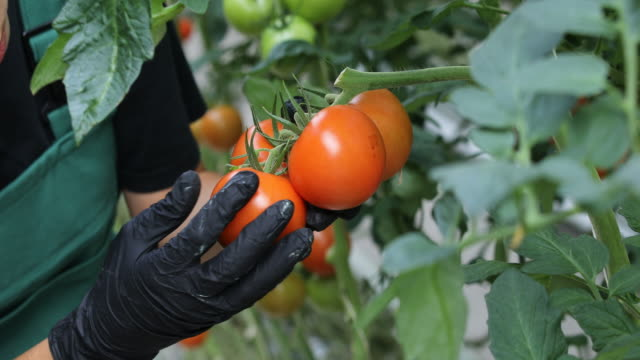 farmer examining ripe tomatoes in greenhouse - giardinaggio video stock e b–roll