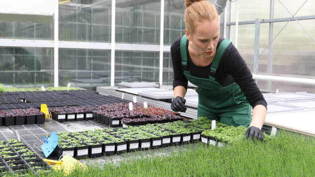 Farmer examining saplings in greenhouse