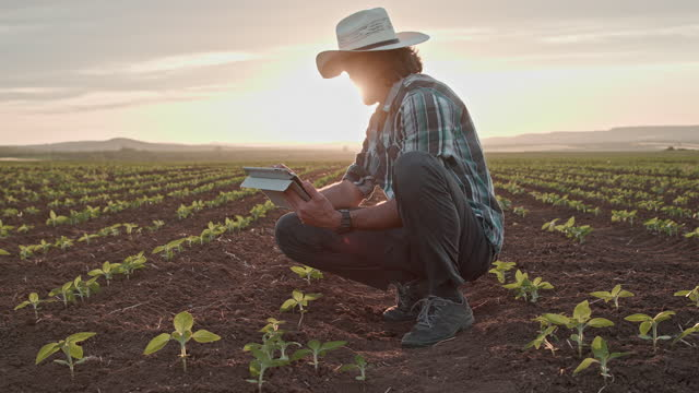 farmer examining sunflower seedlings at sunset with tablet in a cultivated agricultural field. - efficiency stock videos & royalty-free footage