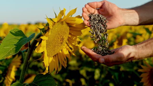 stockvideo's en b-roll-footage met ms farmer onderzoeken zonnebloempitten in landelijke zonnebloem veld - zonnebloem