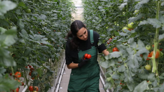vídeos de stock, filmes e b-roll de agricultor, examinando as plantas de tomate em estufa - plano americano