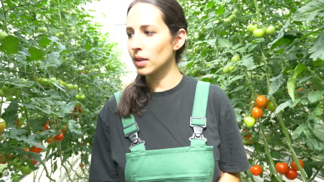 farmer examining tomato plants in greenhouse - tomato stock videos & royalty-free footage