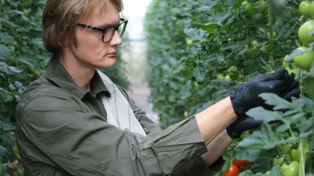 farmer examining unripe tomatoes in greenhouse - unripe stock videos and b-roll footage