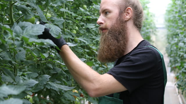 farmer examining unripe tomatoes on plants - bib overalls stock videos & royalty-free footage