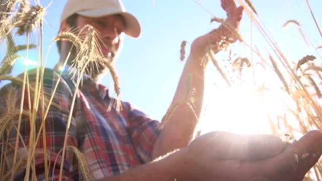 stockvideo's en b-roll-footage met slo mo farmer examining wheat grains - volkorentarwe