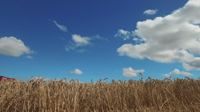 farmer examining wheat - プレイドシャツ点の映像素材/bロール
