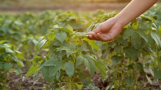 farmer examining young sesame plant in cultivated field - sesame stock videos and b-roll footage