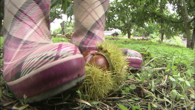 a farmer extracts chestnuts from the bur by spreading it with boots. - marrone video stock e b–roll