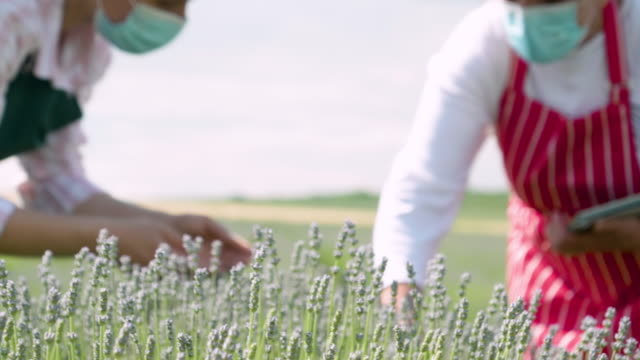 farmer family during covid-19 pandemic examining the new harvest of the blooming lavender plantation. agricultural occupation. bulgarian lavender fields. coronavirus. - agricultural occupation stock videos & royalty-free footage