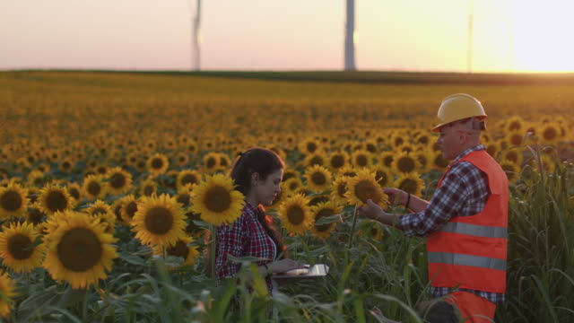 a farmer family examining sunflower seedlings in the middle of a cultivated agricultural field. checking out the condition of the plants, using laptop, teamwork. agricultural occupation. family business. - agricultural occupation stock videos & royalty-free footage
