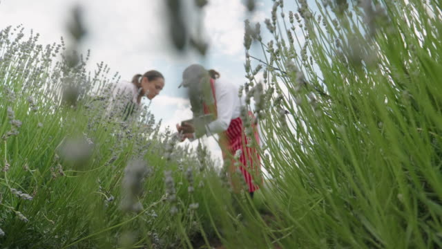 farmer family examining the new harvest of the blooming lavender plantation. agricultural occupation. bulgarian lavender fields. - agricultural occupation stock videos & royalty-free footage