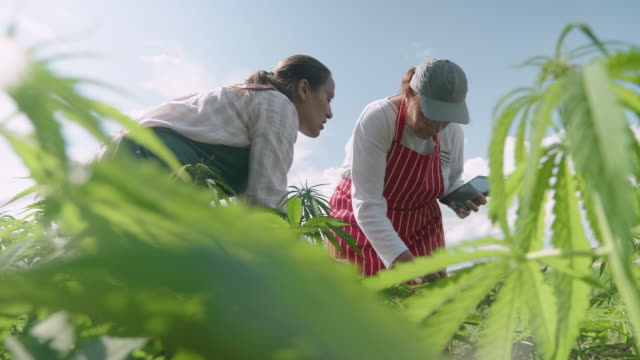 farmer family examining the new harvest of the hemp field. agricultural occupation. medical marijuana plantation. - agricultural occupation stock videos & royalty-free footage