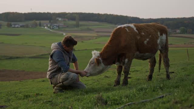 slo mo farmer feeding and stroking a cow on a pasture - stroking stock videos & royalty-free footage
