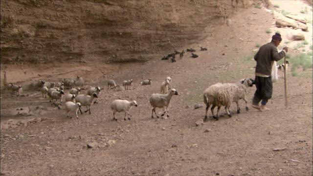 ws pan farmer feeding cattle, iran - iran stock videos & royalty-free footage
