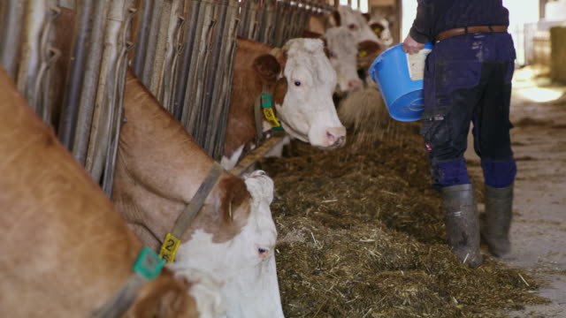 MS Farmer feeding cattle with food pellets
