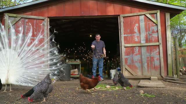 vidéos et rushes de farmer feeding chickens on a remote farm, full hd slow motion - jetée