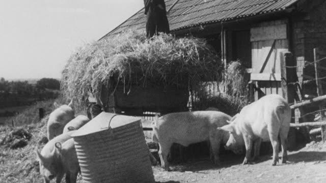 montage farmer feeding hay to pigs in barn yard / united kingdom - farmer hay stock videos & royalty-free footage