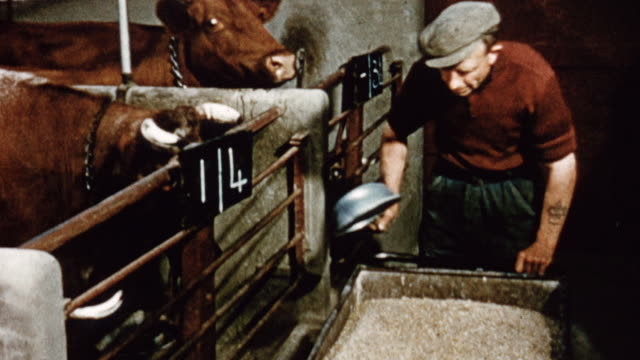 1975 ts farmer feeding meal mixer to the cattle / united kingdom - cattle stock videos & royalty-free footage