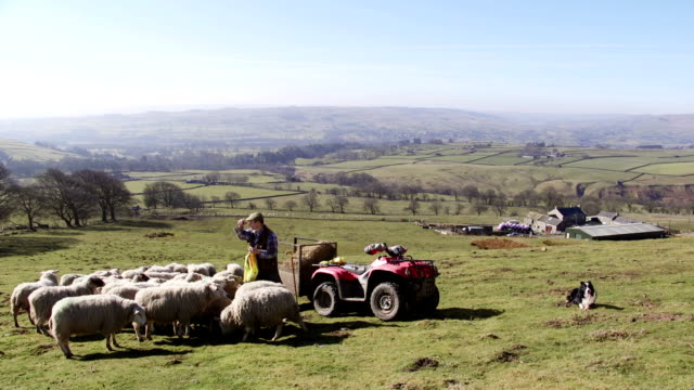 farmer feeding the sheep - british culture stock videos & royalty-free footage
