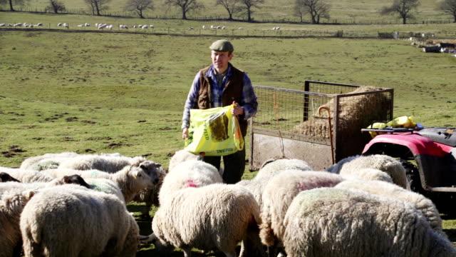 farmer feeding the sheep - herder stock videos & royalty-free footage