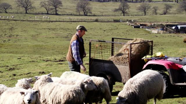 Granjero alimentación de la oveja