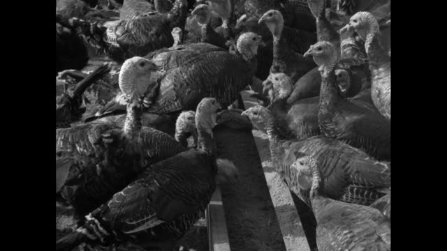 farmer feeds large flock of turkeys; 1953 - archival stock videos & royalty-free footage