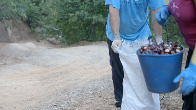 Farmer filling sack with freshly harvested chestnuts