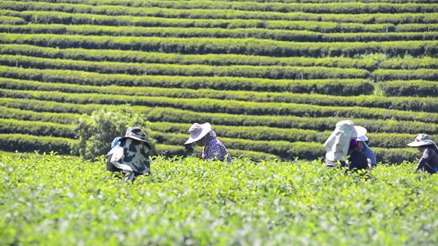 farmer from thailand collecting tea leaves on tea plantation - tè raccolto video stock e b–roll
