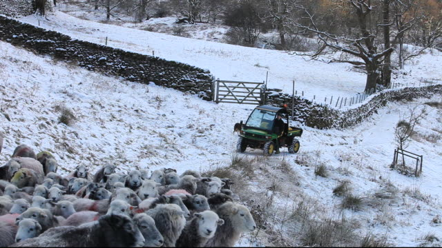 a farmer gathering sheep at rydal in the lake district, uk - hütehund stock-videos und b-roll-filmmaterial