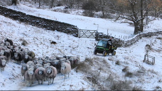 A farmer gathering sheep at Rydal in the Lake District, UK
