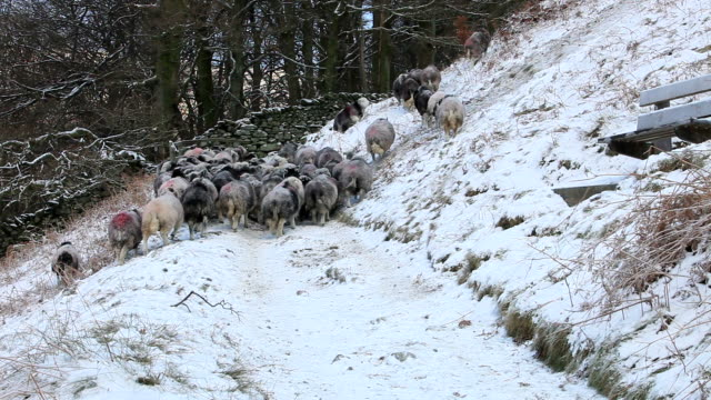Farmer gathering sheep