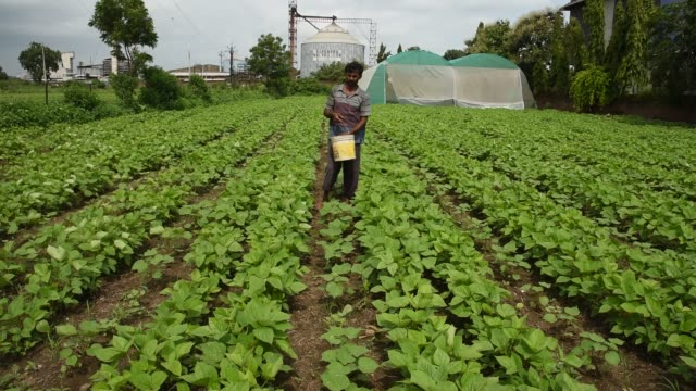 farmer give fertilizer to soybean plants. - plantation stock videos & royalty-free footage