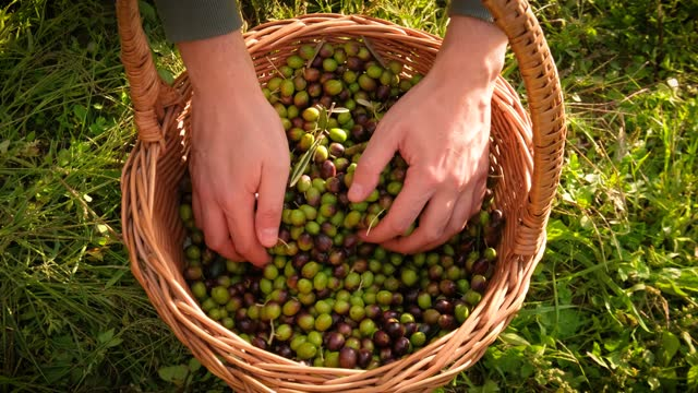 farmer grabbing a bunch of olive fruits with hands from basket - black olive stock videos & royalty-free footage