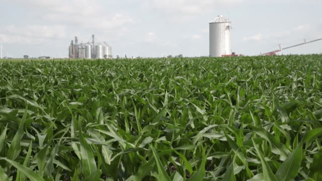 a farmer grows corn in a field on june 13 2018 near dwight illinois the condition of us corn and soybean crops in most regions is far outpacing last... - legume family stock videos and b-roll footage