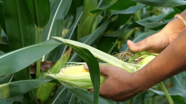 farmer hand picking ripe corn - picking harvesting stock videos & royalty-free footage