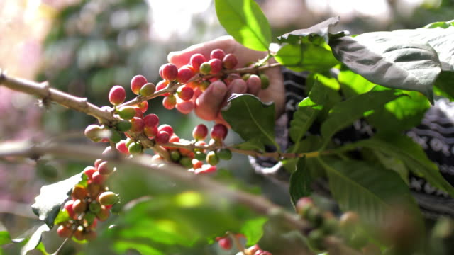 vídeos de stock e filmes b-roll de farmer hand picking ripe robusta coffee berries for harvesting , slow motion - feijão