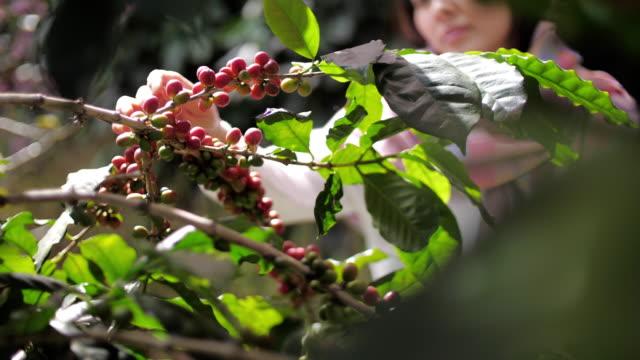 vídeos de stock e filmes b-roll de farmer hand picking ripe robusta coffee berries for harvesting - feijão