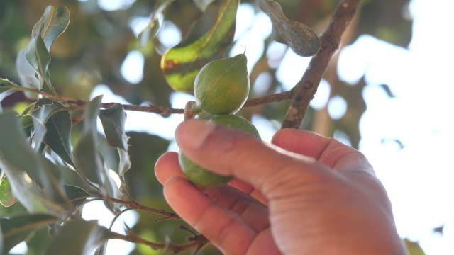landwirt hand berühren macadamia-frucht auf baum - clip stock-videos und b-roll-filmmaterial