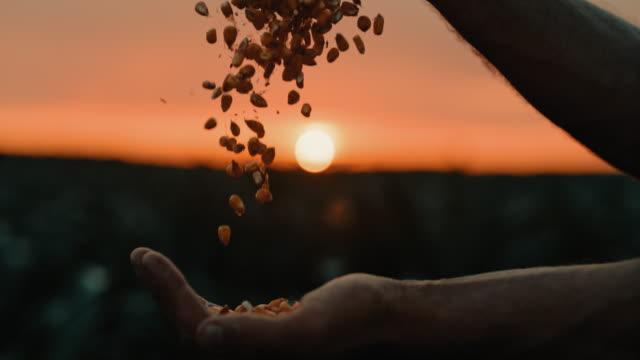 vídeos de stock e filmes b-roll de slo mo farmer hands cupping maize kernels at sunset - pessoa irreconhecível