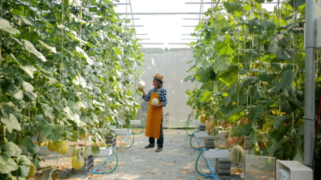 farmer hands holding fresh melons or green melons or cantaloupe melons plants growing in greenhouse supported by string melon nets. melons growing in a greenhouse supported by string melon nets, modern hydroponic farming.industry 4.0 - cibo biologico video stock e b–roll