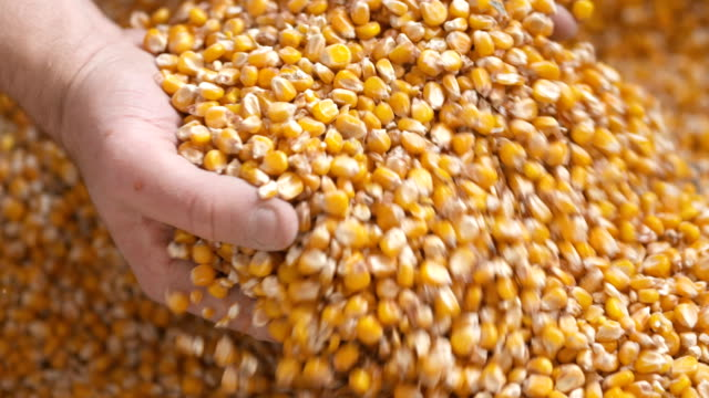 Farmer hands showing freshly harvested corn grains. Agriculture, corn harvesting