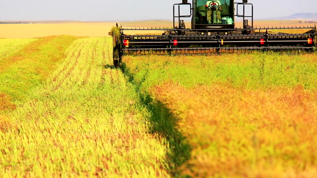 farmer harvesting canola field - alberta stock videos & royalty-free footage