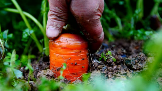 farmer harvesting carrot in field - land stock videos & royalty-free footage