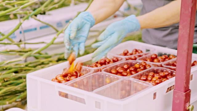 ms-farmer ernte cherry-tomaten im gewächshaus - gewächshäuser stock-videos und b-roll-filmmaterial