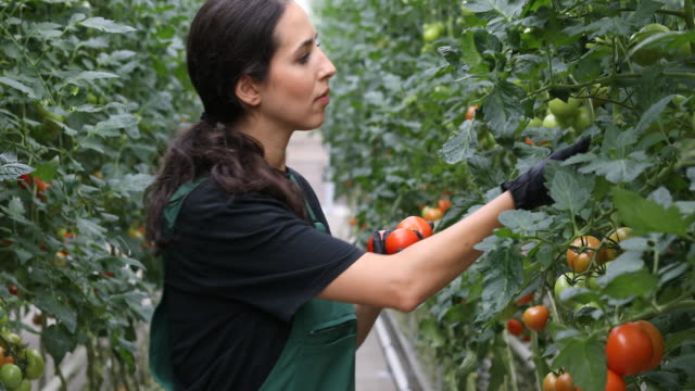 farmer harvesting fresh tomatoes in greenhouse - bib overalls stock videos & royalty-free footage