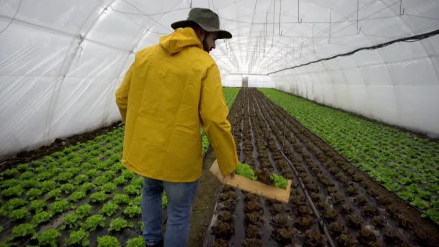 farmer harvesting lettuce - crate stock videos & royalty-free footage