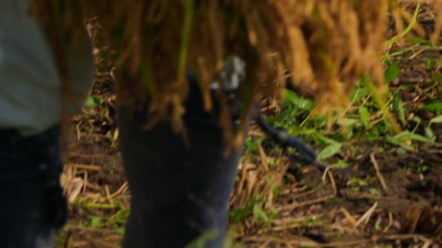 vídeos de stock e filmes b-roll de farmer harvesting / minamiuonuma, niigata, japan - ramo parte de uma planta