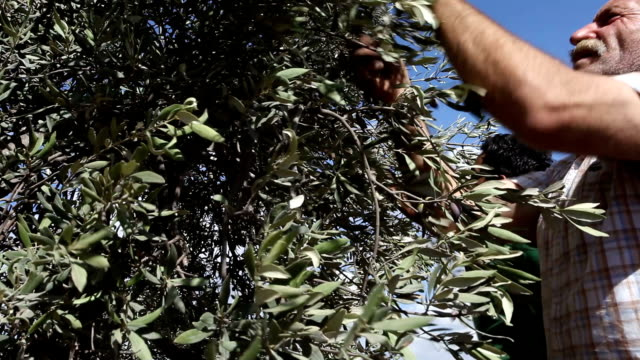farmer harvesting olives, burqin village, jenin, palestine - palestinian territories stock videos & royalty-free footage